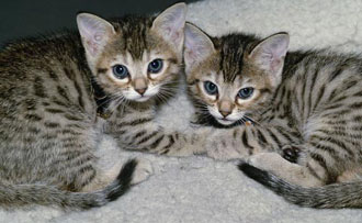 attack of the clones - fluffy kitty photo