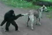 Monkey owning a dog